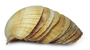 Compro Concha Shell (Vieira)