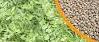 Compro Sementes de ervilhaca