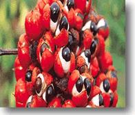 Compro Guarana