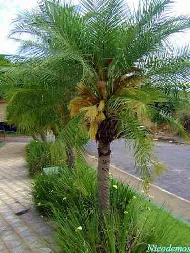 Compro Viveiro Palmeira Real