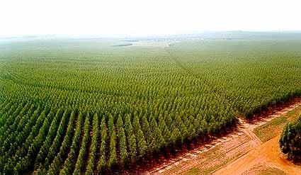 Compro Vende- se Florestas de pinus com 60Milhões de pés, mais de 30 anos e DAP 25 a 35 centimetos