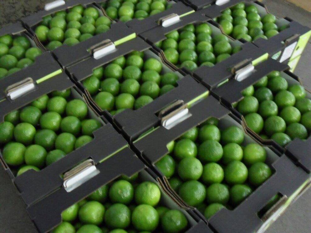 Compro Limão Tahiti e Limão Siciliano