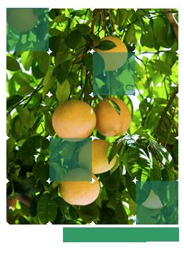 Compro Plantas frutifeiras