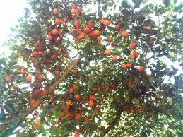 Compro Arvores frutíferas