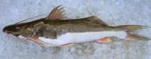 Compro Piramutaba - Catfish