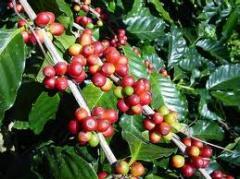 Coffea arábica
