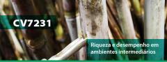 Cana-de-açúcar CV7231