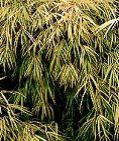 Bambusa gracilis