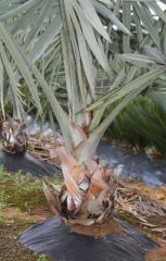Palmeira da Saia
