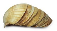 Concha Shell (Vieira)