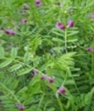 Sementes de ervilhaca