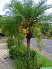 Viveiro Palmeira Real