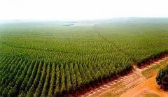 Vende- se Florestas de pinus com 60Milhões de pés,
