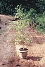 Árvore da China