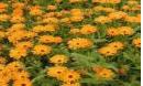Calêndula - Calendula officinalis