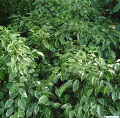 Ficus radicans