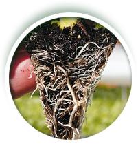 Fertilizante Basaplant Fumo