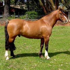 Cavalo Crioulo.