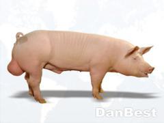 Porco DanBest