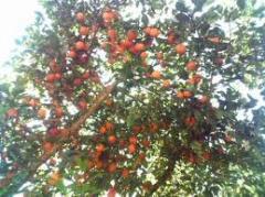Arvores frutíferas