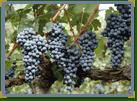 Uvas viníferas