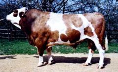 Vaca Dionis