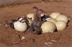 Ovos de avestruzes