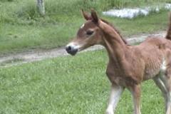 Cavalo Lumiar Emmirah