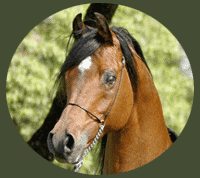Cavalo BF Renaissance