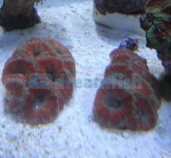 Acanthastrea Lord Red (muda)