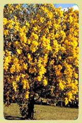 Acacia podalyraefolia.