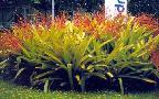 Aechmena blanchetiana.