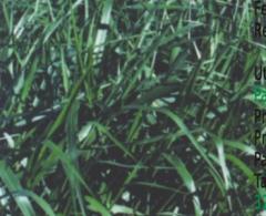 Brachiaria MG5