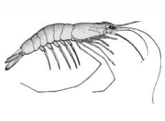 Bio Oceano para camarões