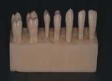Dentes Anatômicos para Treinamento - Bloqueto