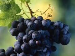 Uvas para Sucos