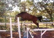 Cavalo Carrara
