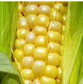 Milho - cultura do milho tem grande importância