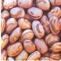 Feijão - a área destinada à cultura do feijão é