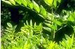 Alcaçuz é uma planta medicinal de origem européia