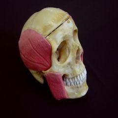 Crânio em Resina com Músculos