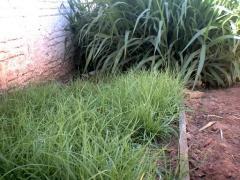 SEMENTES DE GRAMA PENSACOLA (paspalum saurae)