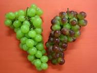 Uva (Vitis vinifera)