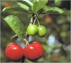 Acerola (Malpighia glabra Linné)