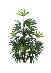 Palmeira Raphis x 50