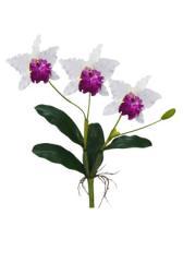 Orquidea Cattleya x 3