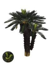 Palmeira Cycas x 55