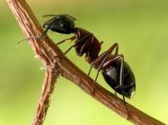 Formigas Define 125 CE