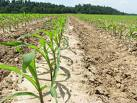 Fertilizante / Superfosfato Simples