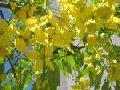 Acácia (Robinia pseudo � acacia)